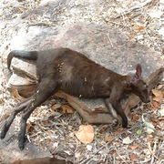 black wallaroo (male)