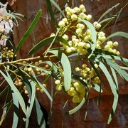 kind of wattle (Acacia latescens)