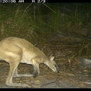 agile wallaby (male)