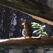 short-eared rock wallaby