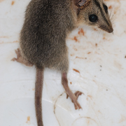 Red-cheeked dunnart