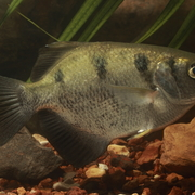 sevenspot archerfish, primitive archerfish