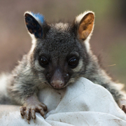 northern brushtail possum