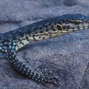 Mitchell's water monitor