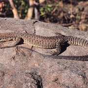 black-spotted ridge-tailed monitor
