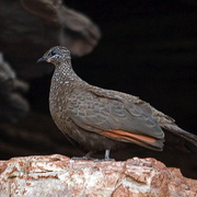 chestnut-quilled rock pigeon