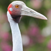 brolga, native companion