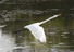 Egret%20in%20flight%20straight%20body%20hc