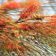 fern-leaved grevillea