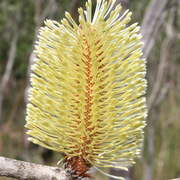 Banksia***
