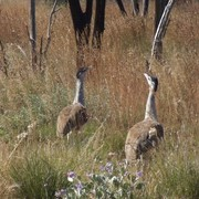 australian bustard or plains turkey