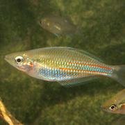 banded rainbow fish