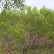 Kind of Wattle (Acacia gonocarpa)